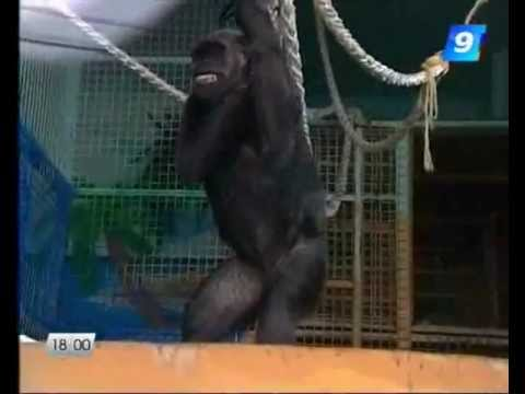 Примат, который кроет матом и курит