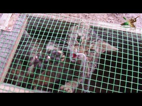 Tavuk Katiline tuzak kurdum bakın ne çıktı - Felis Silvestris - European Wildcat - Yaban Kedisi