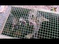 Kümesime giren Yaban Kedisini -Yakaladım- Felis Silvestris - European Wildcat - Yaban Kedisi