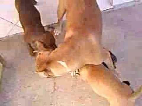 Gato sendo atacado por pit bulls