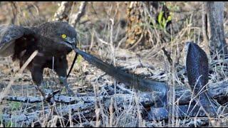 Cobra vs Brown Snake Eagle - Latest Wildlife Sightings