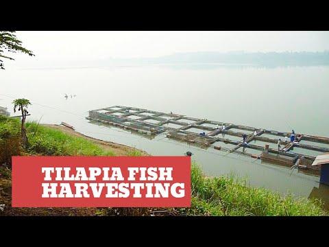 Tilapia Fish Harvesting In Vientiane, Laos