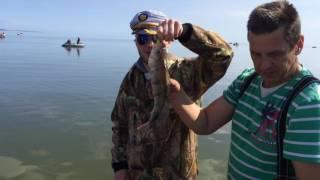 ловля судака на куршском заливе