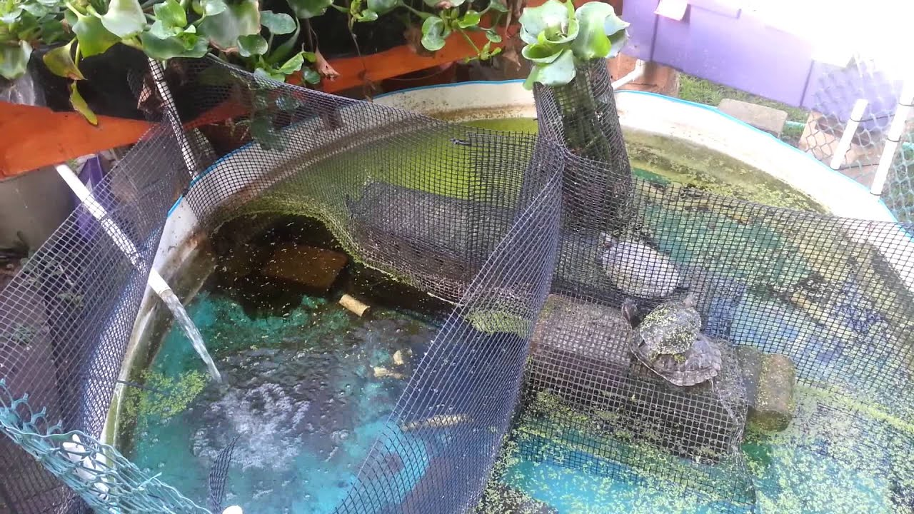 How aquaponic self sustaining planted turtle pond youtube for Self sustaining fish tank