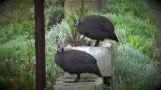Urban Critters Guinea Fowls