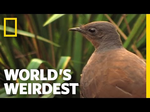 World s Weirdest - Bird Mimics Chainsaw, Car Alarm and More