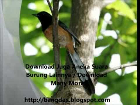 Kicau Burung Murai Batu (bangdex.blogspot).flv video