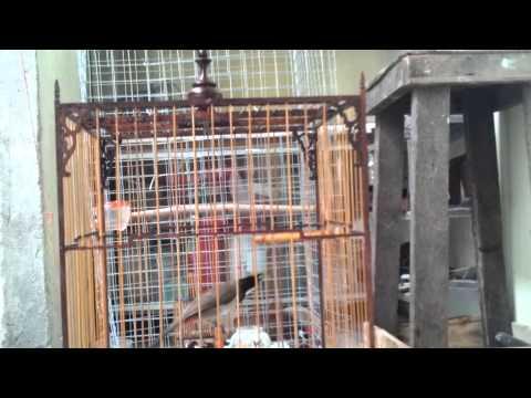 Chim Chào Mào Chéc Choi Giọng Hay video
