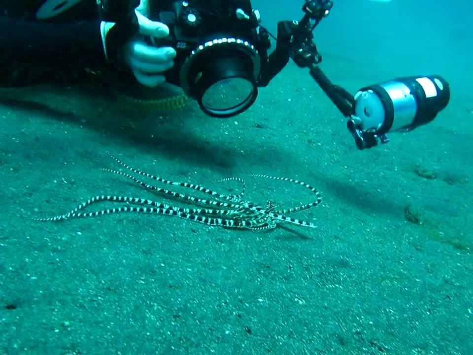 Mimic Octopus Flounder Mimic Octopus Lembeh Strait