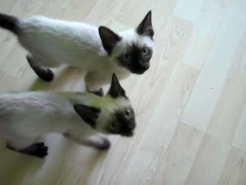 Siamese kittens meowing