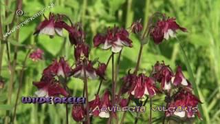 Columbine - Akelei - Aquilegia vulgaris