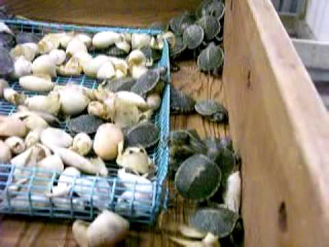 Just hatched red ear slider turtles, pet turtle hatchling