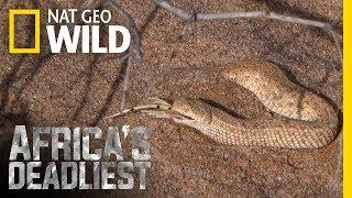 A Side-Swiping Snake   Africa's Deadliest