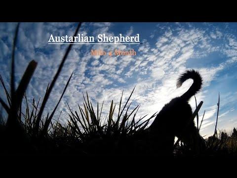 Australian shepher Milo 4 Month