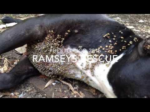 Ramsey Dog Rescue Puerto Rico