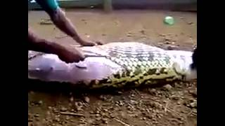 Cow come out alive from snake after eating it amzing cow come out fron sanke bale