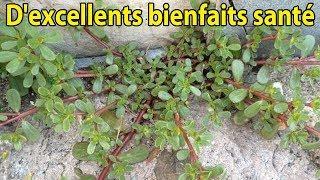 D'excellents bienfaits pour la santé de cette plante médicinale - conseils