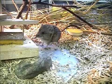 コミミハネジネズミ(Macroscelides proboscideus)