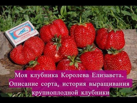 КОРОЛЕВА ЕЛИЗАВЕТА . КЛУБНИКА. Мой обзор для Вас. arkwars.ru