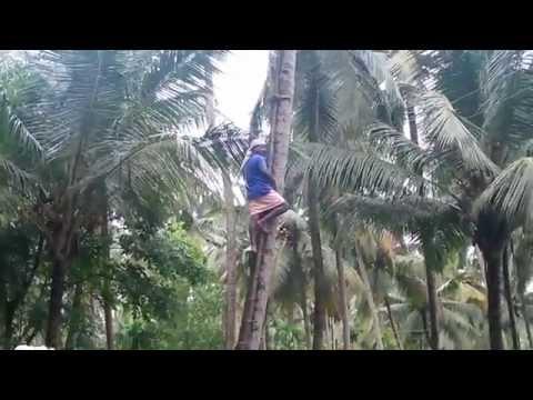 Keratech coconut tree climbing