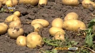 Tarla Bitkileri-Patates Yetiştiriciliği