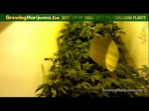 Benefits Of Using Co2 With Marijuana Plants