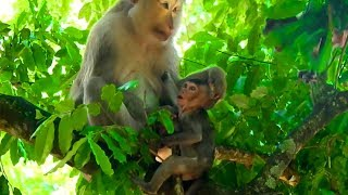First Pigtail Monkey, Ashley Hold Lori and Then Feel Angry| Baby Lori Stuck On Tree Cry For Mom Hel
