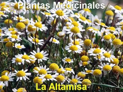Remedios caseros con plantas medicinales la altamisa for Planta decorativa con propiedades medicinales