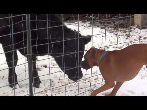 Boxer kutya tehenekkel csókolózik