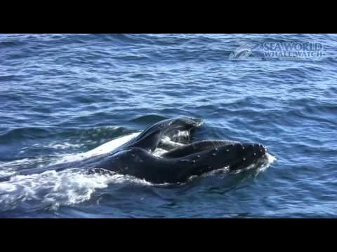 Whale Feeding on Baitfish off Gold Coast Seaway!!! - Sea World Whale Watch