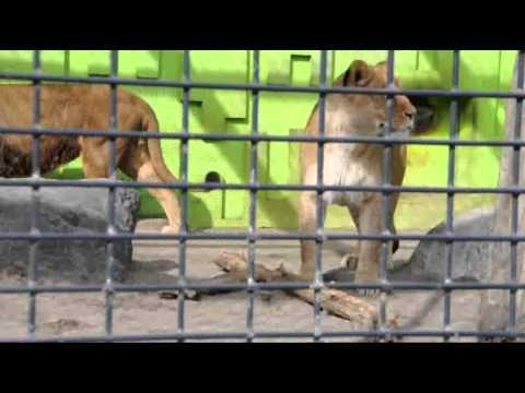 2011年3月20日 釧路市動物園ライオン ゆうきはキングが気になる
