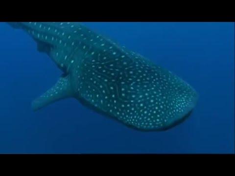 Whale Shark - Cetcápa