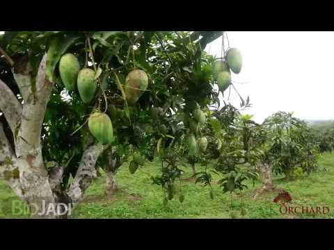 Mango - Organically Grown  Mk Orchard video