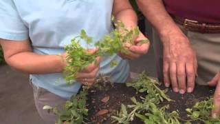 Central Florida Gardening-2min Pests - Broadleaf Weeds