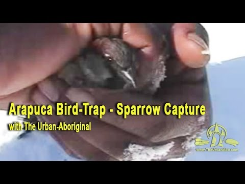 Arapuca Bird-Trap  - Sparrow Capture