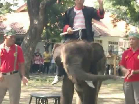 "CELEBRATE ""GONZALES"" ELEPHANT BIRTHDAY 2 st,,,,AT SURABAYA ZOO"