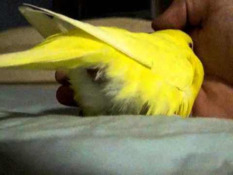 lulzBrownie - Budgie lays an egg