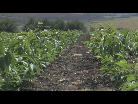 Технология выращивания ореха грецкого в украине 66