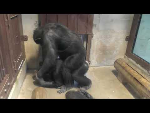 謎の遊びをするチンパンジー (東山動植物園)