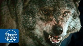 Wild Wolves Hunting | HD Documentary