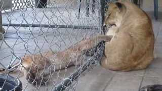 Baby Florida Panther and Lion Playing
