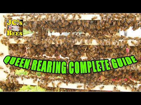 Grafting Queen Honey Bees  Queen Rearing