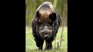 Reviergang#Schwarzwild#Sauen#Wild#hunting#Jagd#hunter