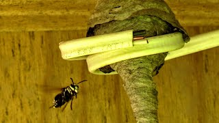 Bald Faced Hornet Queen Nest Build Time Lapse Yellow Jackets Nest