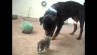 Kittens Meet Rottweiler for first time