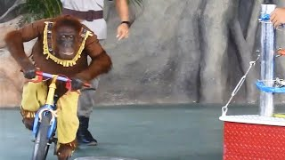 Funny orangutan Ride The Bike and Kids at the Zoo : Wild animals and Cute Elephant Show