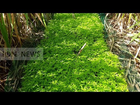 11 365 plants de gandia valant Rs 34 m découverts au milieu de champs de canne