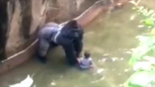 Zoo Defends Killing Gorilla Even Though ZOO And Eyewitnesses Say Gorilla Was Protecting The Child!