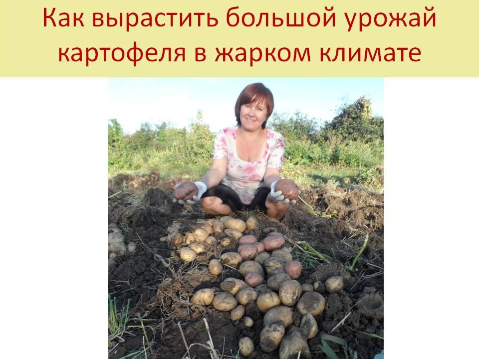 Органическое земледелие как сажать картофель 36