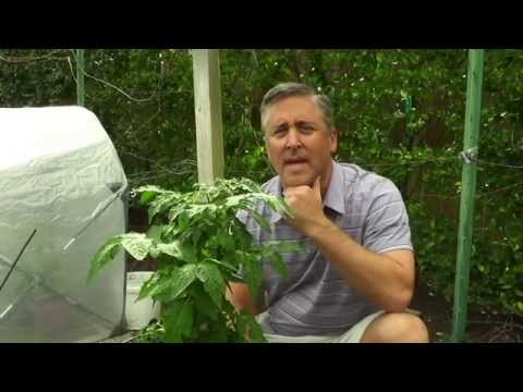 Growing Healthy Tomatoes in Containers